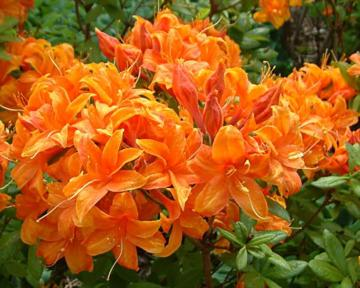 Rhododendron 'Golden Eagle'