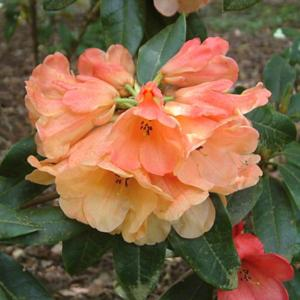 Rhododendron 'Golden Spur'