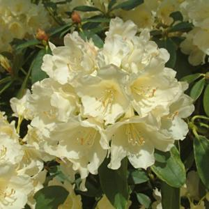 deeproot plant base online rhododendron 39 golden torch 39. Black Bedroom Furniture Sets. Home Design Ideas