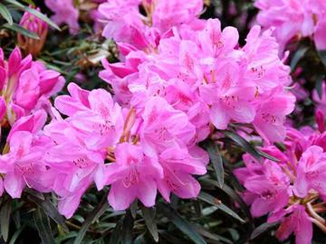 Rhododendron 'Hampshire Belle'