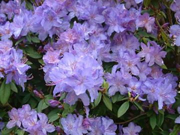 Rhododendron 'Saint Tudy'