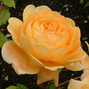 Rosa 'Crown Princess Margareta'