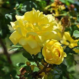 Rosa x harisonii 'Harison's Yellow'