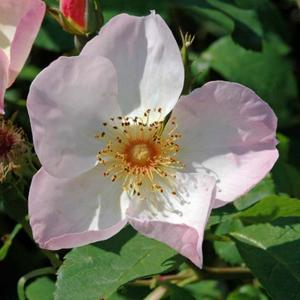 Rosa 'Heavenly Rosalind'