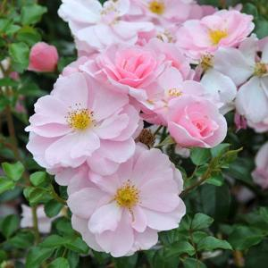 Rosa 'Queen Mother'
