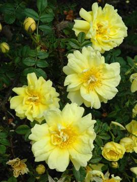 Rosa x harisonii 'Williams' Double Yellow'
