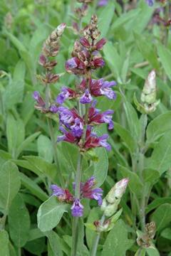 salvia officinalis medicinal uses pdf