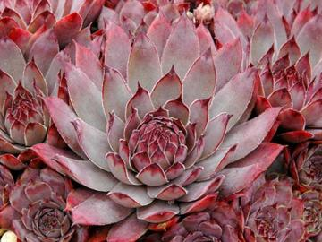 Sempervivum 'Virgil'