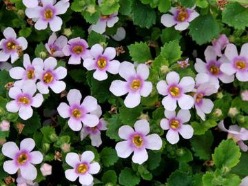 Sutera cordata 'Scopia Great Pink Ring'
