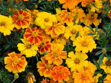 Tagetes 'Sunburst Mixed'