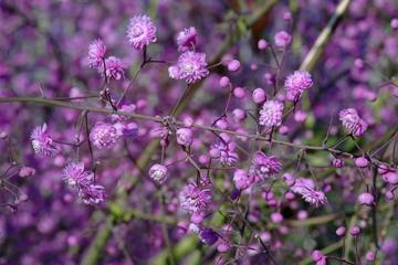 Deeproot plant base online thalictrum delavayi 39 hewitt 39 s for Thalictrum rochebrunianum rhs